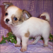 Gorgeous Amazing Chihuahua Puppies For sale