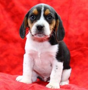 beagle male and female puppies for re-homing