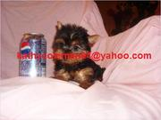 Lovely male And female Baby face Teacup Yorkie Puppies