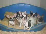 Fantastic French Bulldog Puppies For adoption
