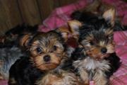 Home raised Yorkshire Terrier puppies available for good home