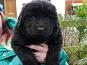 Newfoundland Pedigree Puppies For Sale