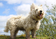 West Highland Terrier Missing