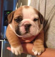 Healthy English bulldog puppies for Christmas