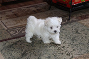 Two maltese puppies ready for adoption