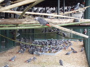 African Gray Parrots are ready for sale now