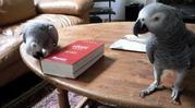 African Congo grey for free to good home