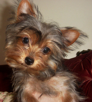 Kc registered miniature Tea cup Yorkshire  terrier puppies ready now