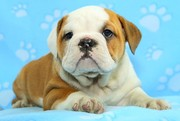 English Bulldog Puppy Needs A New Home