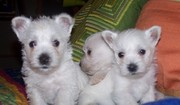 Adorable westie puppies available