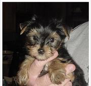 AKC Registered Male And Female Yorkie Puppies For Adoption they are al