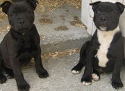 male staffordshire bull terrier