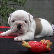 Beautiful AKC Male and female Bulldog puppies for adoption