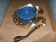 Piebald and Ball pythons for adoption
